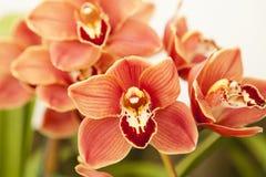 Cymbidium orchid Royalty Free Stock Photo
