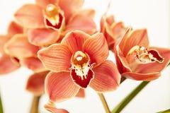 Cymbidium orchid Royalty Free Stock Image