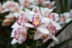 Cymbidium orchid Stock Photos