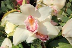 Cymbidium orchid Stock Image