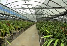 Cymbidium orchid farm. Cymbidium orchid flowers growing in a greenhouse. Photo taken in Hawaii Stock Images