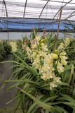 Cymbidium orchid farm Stock Photo