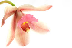 Cymbidium orchid flower Stock Photos