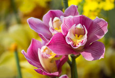 Cymbidium orchid flower Royalty Free Stock Photo