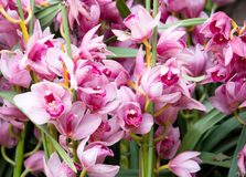 Cymbidium orchid flower Royalty Free Stock Images