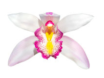Cymbidium orchid flower head isolated Royalty Free Stock Image