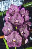 Cymbidium orchid flowers Stock Photo