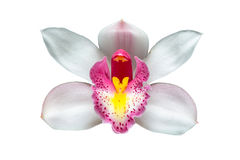 Cymbidium orchid flowers over white background Royalty Free Stock Photos