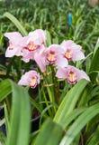 Cymbidium Orchid Stock Photo