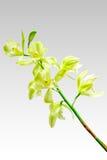 Cymbidium orchid Stock Photography