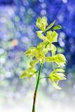 Cymbidium orchid Royalty Free Stock Images