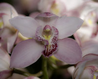 Cymbidium orchid. S in a garden, cultivated flowers royalty free stock image