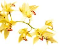 Cymbidium orchid Stock Images