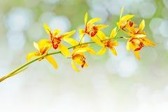 Cymbidium orchid Royalty Free Stock Photos