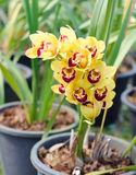 Cymbidium orchid Stock Photo