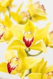 Cymbidium orchidea Obrazy Stock