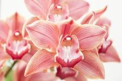 Cymbidium orchidea obraz stock