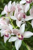 Cymbidium, orchidea Fotografia Stock