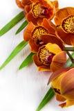 Cymbidium orchidea z brown kolorem na białym tle Obrazy Stock