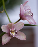 Cymbidium orchids. Cultivated, in a garden royalty free stock photo