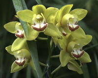 Cymbidium orchids Stock Photos