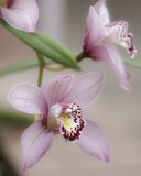 Cymbidium orchids. Grown in a garden, cultivated royalty free stock photo