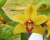 Blooming yellow orchid. CYMBIDIUM ORCHIDS YELLOW WITH DARK PINK LIP royalty free stock photo