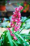 Cymbidium. The photo was taken in Hong Kong park Hongkong,China Stock Image