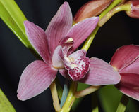 Cymbidium Red Baker Orchid Royalty Free Stock Image