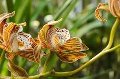 Cymbidium Tracyanum de Orkide imagens de stock royalty free