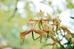 Cymbidium tracyanum orchid flowers in a garden royalty free stock images