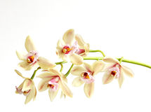 Cymbidium on white. Cymbidium orchid flowers against a white background Royalty Free Stock Photography