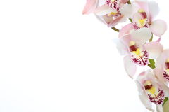 Cymbidium in a white background Royalty Free Stock Photo