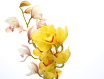 Cymbidium in a white background Stock Image