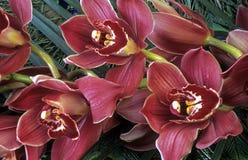 cymbidiumorchid Royaltyfria Bilder