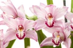 Cymbidiumorchidee Lizenzfreie Stockfotografie