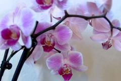 Cymbidiumorchideen stock video footage