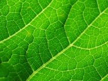 cymbling leaf fotografering för bildbyråer