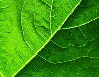 cymbling leaf Royaltyfri Bild