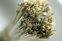 Cymbopogon Fotografía de archivo