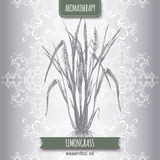 Cymbopogon aka lemongrass sketch. On elegant lace background. Aromatherapy series. Great for traditional medicine, perfume design, cooking or gardening Royalty Free Stock Photography