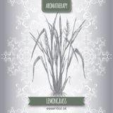 Cymbopogon aka lemongrass sketch Royalty Free Stock Photography