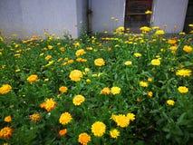 Cymbopogon citrat. Close up of Cymbopogon citrat Stock Images