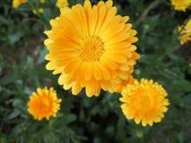 Calendula officinalis. Close up of Cymbopogon citrat Royalty Free Stock Photography