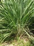 Cymbopogon citratus Royalty Free Stock Photos