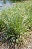 Cymbopogon citratus plants. In nature garden Stock Photography