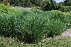 Cymbopogon eller lemongrass i sommarträdgården Arkivbild