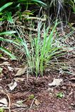 Cymbopogon growing Stock Images