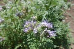 Cyme dei fiori a campana viola del phacelia di pizzo immagine stock