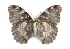 Cymothoe beckeri (female) (underside) Royalty Free Stock Images